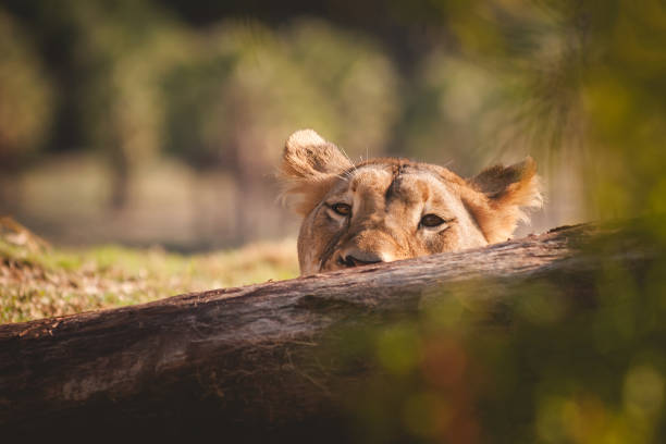 Female lion poking her head above a log stock photo
