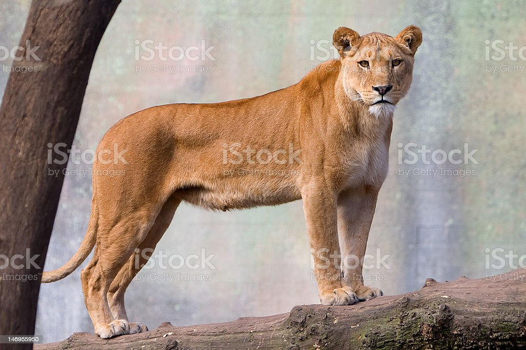 Female Lion standing guard royalty-free stock photo