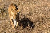 Zwei männliche junge Löwen sitzen in einer Wiese im Etoscha National Park in Namibia