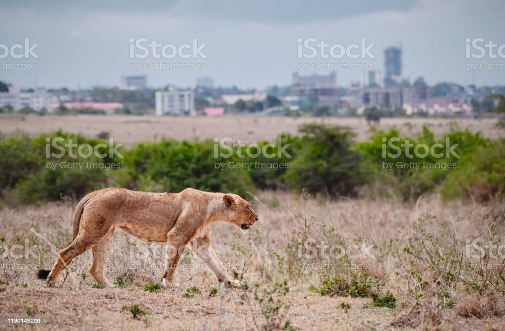 Female lion walking in Savannah field in Nairobi national park in middle of city. The city as a background. Grassland, Kenya. stock photo