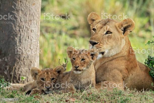 Female lion with cubs picture id1127560711?b=1&k=6&m=1127560711&s=612x612&h=p4uonvqezhqr6cra4 umnmtdvk 77mi1okhvib1bnpi=