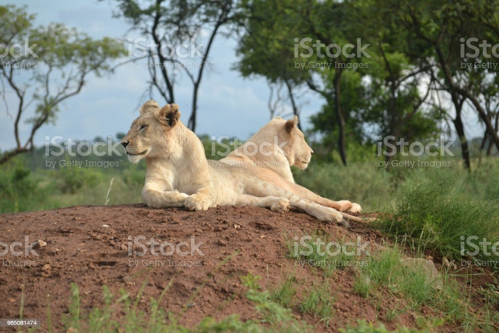 Female Lions royalty-free stock photo