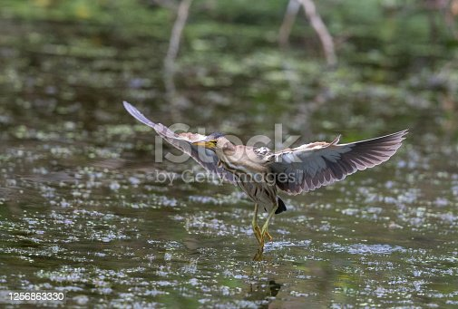 Flying female little bittern (Ixobrychus minutus) in front of a pond.