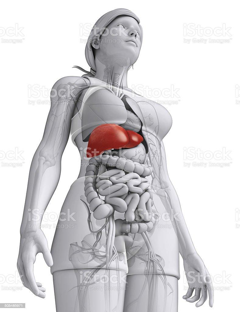 Weibliche Leber Anatomie - Stockfoto | iStock