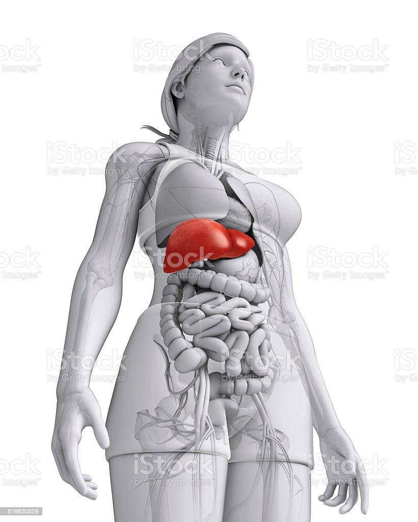 Weibliche Leber Anatomie Stock-Fotografie und mehr Bilder von ...
