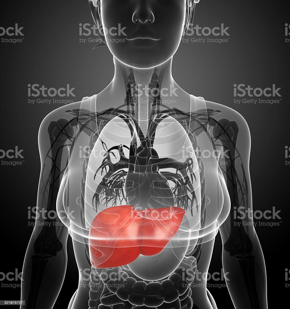 Female Liver Anatomy Stock Photo More Pictures Of Abdomen Istock