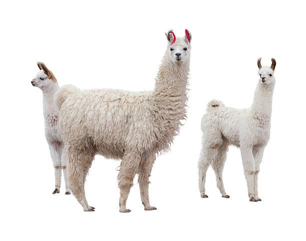 weibliche lama mit babys - lama kamelartige stock-fotos und bilder