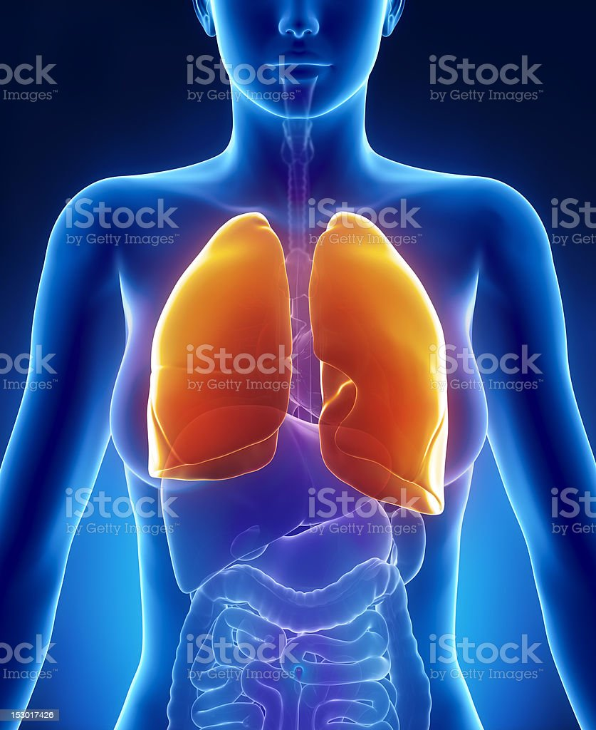 Female lungs anatomy anterior view stock photo