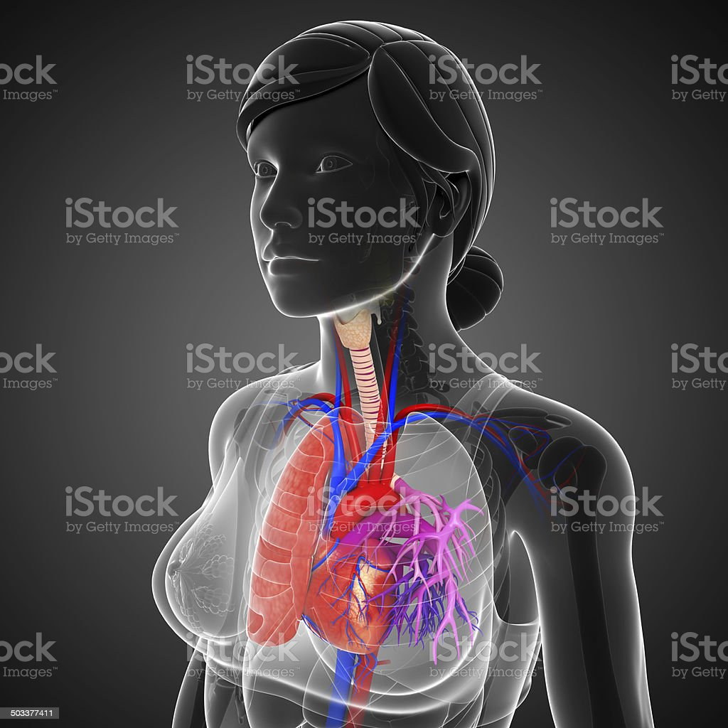 Female Lungs Anatomy Stock Photo More Pictures Of Abdomen Istock
