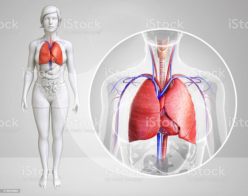 Female lungs anatomy stock photo