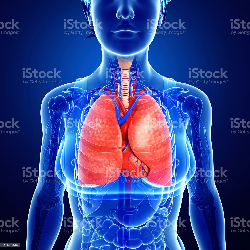 Female Lungs Anatomy Stock Photo & More Pictures of Abdomen   iStock