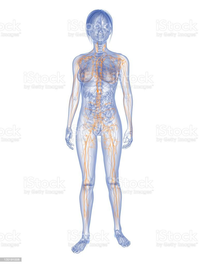 female lymphatic system stock photo