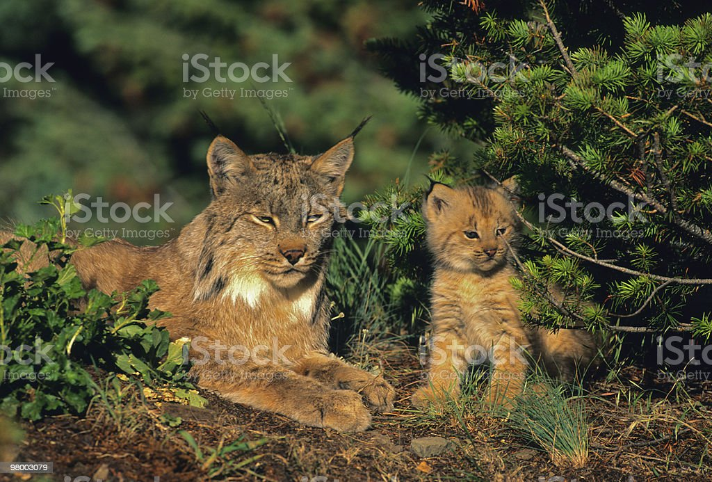 Female Lynx and kitten royalty-free stock photo