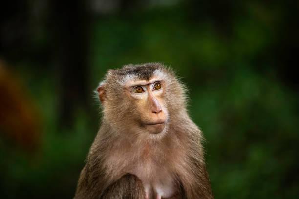 female macaque monkey - macaco foto e immagini stock