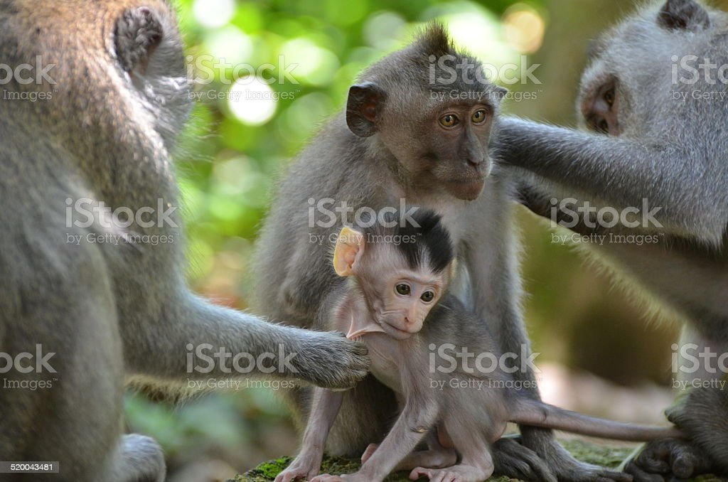 Female Macaque monkey with baby stock photo