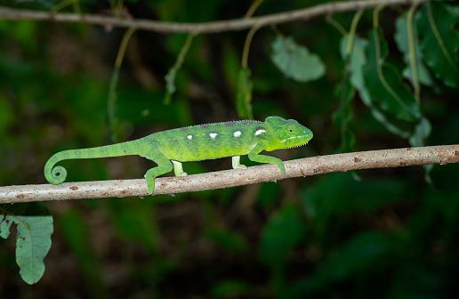 Female Malagasy Giant Chameleon (Furcifer oustaleti), shot in wildlife in Anja Nature Reserve, Central Madagascar