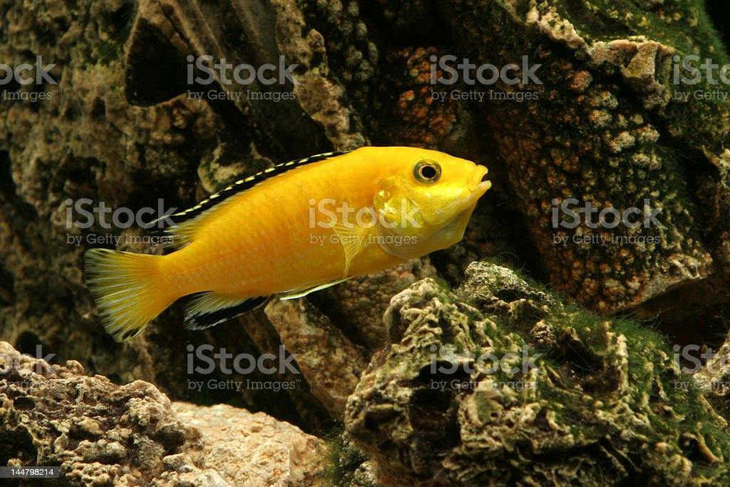 Female Malawi Cichlid with throat pocket stock photo