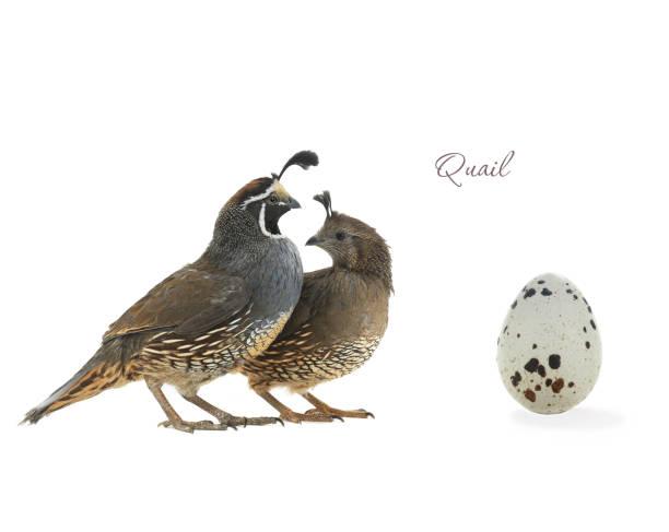 female, male and egg california quail - colin photos et images de collection