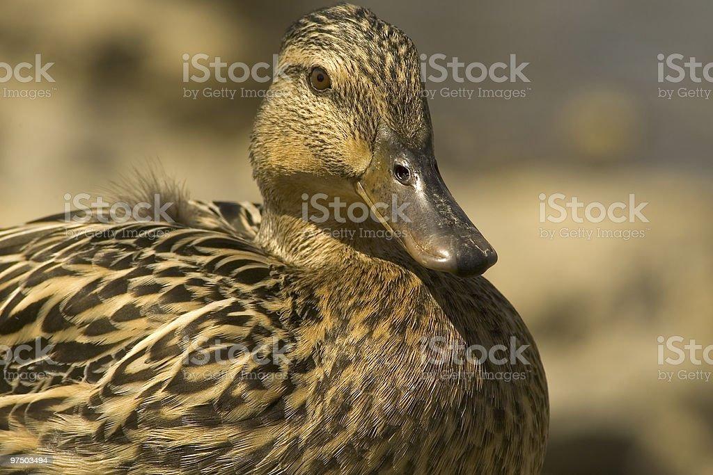 Female Mallard 2 royalty-free stock photo