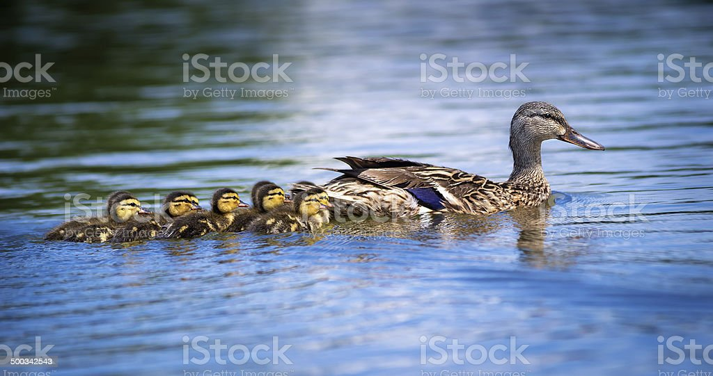 Female Mallard duck (Anas platyrhynchos) and ducklings stock photo