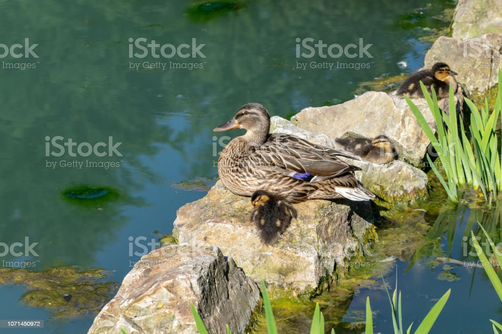 Female Mallard Duck And Ducklings Resting On Stone Rock