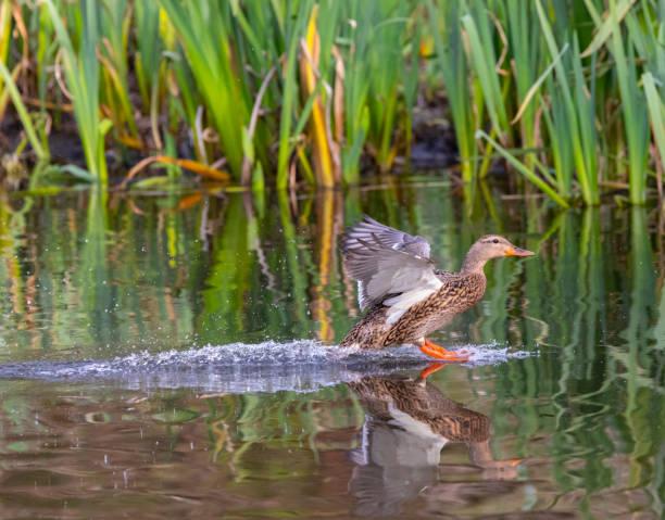 Weibliche Mallard Ente Landung. – Foto