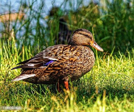 female mallard duck on green grass