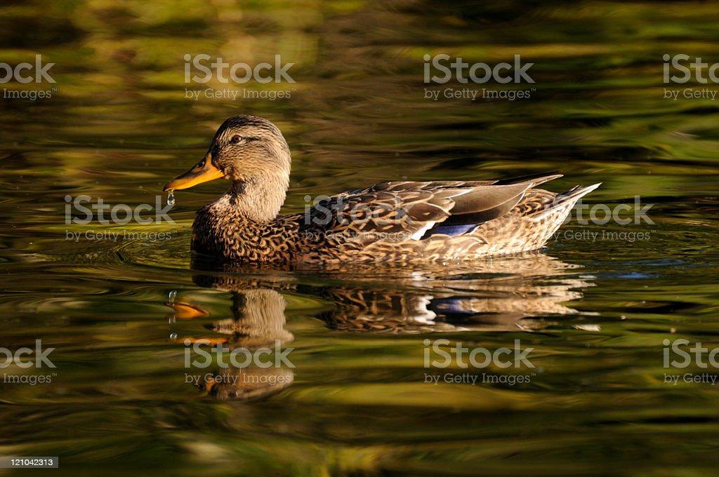 Weibliche Mallard Duck – Foto