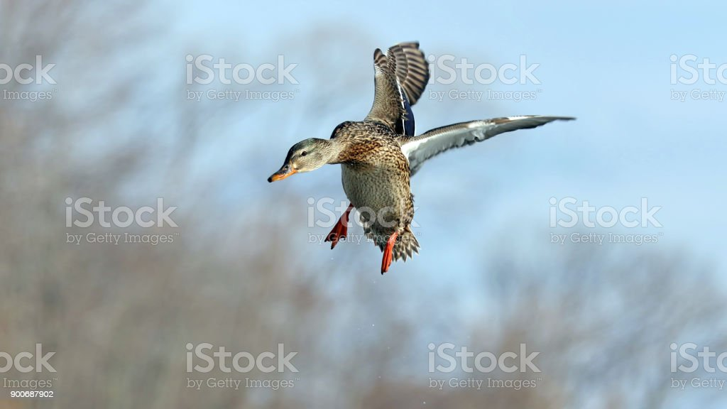 Female Mallard Duck stock photo