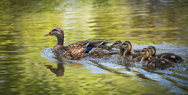 female mallard duck swims with her duckling family. - preening - fotografias e filmes do acervo