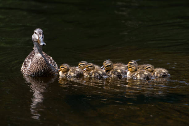 Female mallard duck with ducklings stock photo