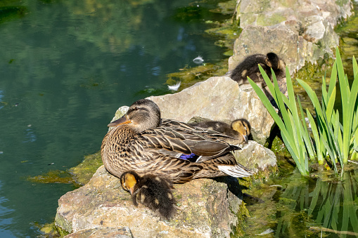 Female Mallard Duck With Ducklings Resting On A Rock By The
