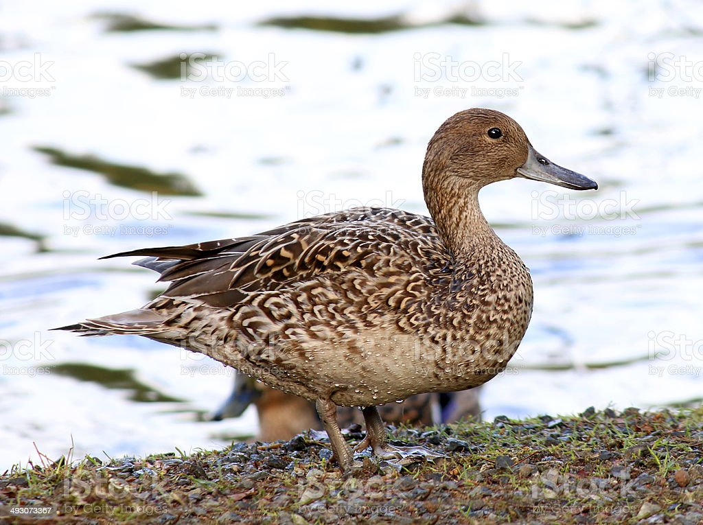 Female Mallard Duck With Water In Background Stock Photo & More ...