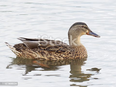 Portrait of a female Mallard (Anas platyrhynchos) on an Oxfordshire lake