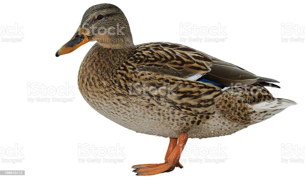 Female Mallard royalty-free stock photo