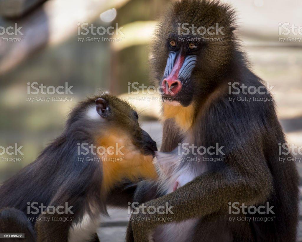 Female mandrill feeding its baby stock image
