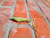 brown praying mantis on ground in green grass