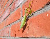 A female mantis, a predatory mantis insect on a brick wall.