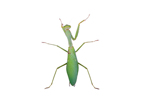 Mantis exiting from grass