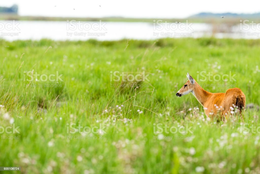 Female Marsh Deer (Blastocerus dichotomus) stock photo