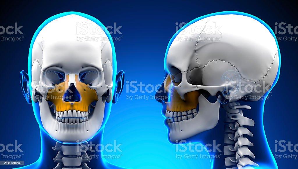 Fotografía de Hembra Maxilar Superior En Los Huesos Del Cráneo Del ...