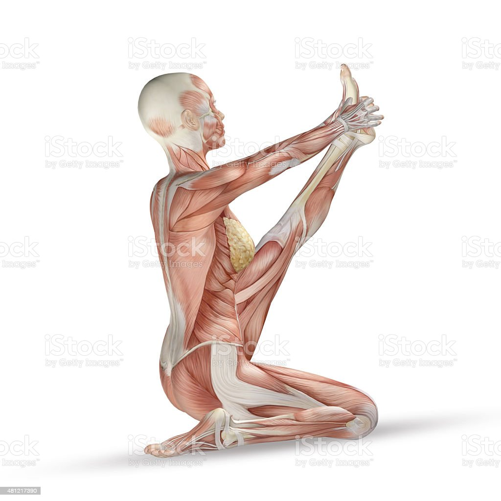 3D female medical figure with muscle map in yoga position stock photo