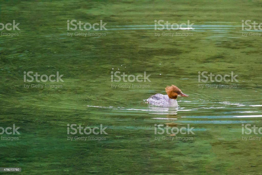 Female Merganser swimming in lagoon stock photo