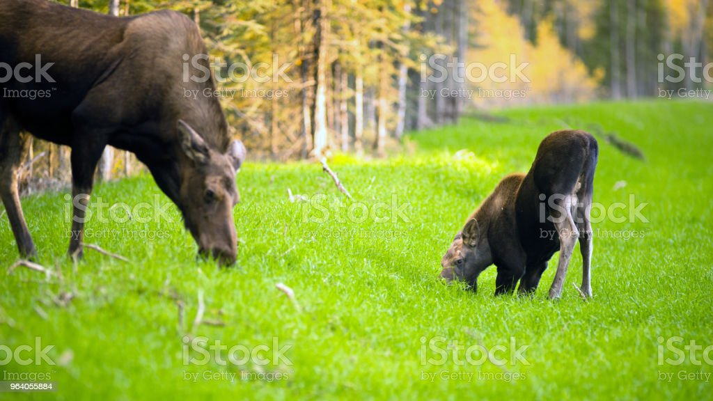 Female Moose Cow Calf Feeding On Grass Alaska Wilderness - Royalty-free Agricultural Field Stock Photo