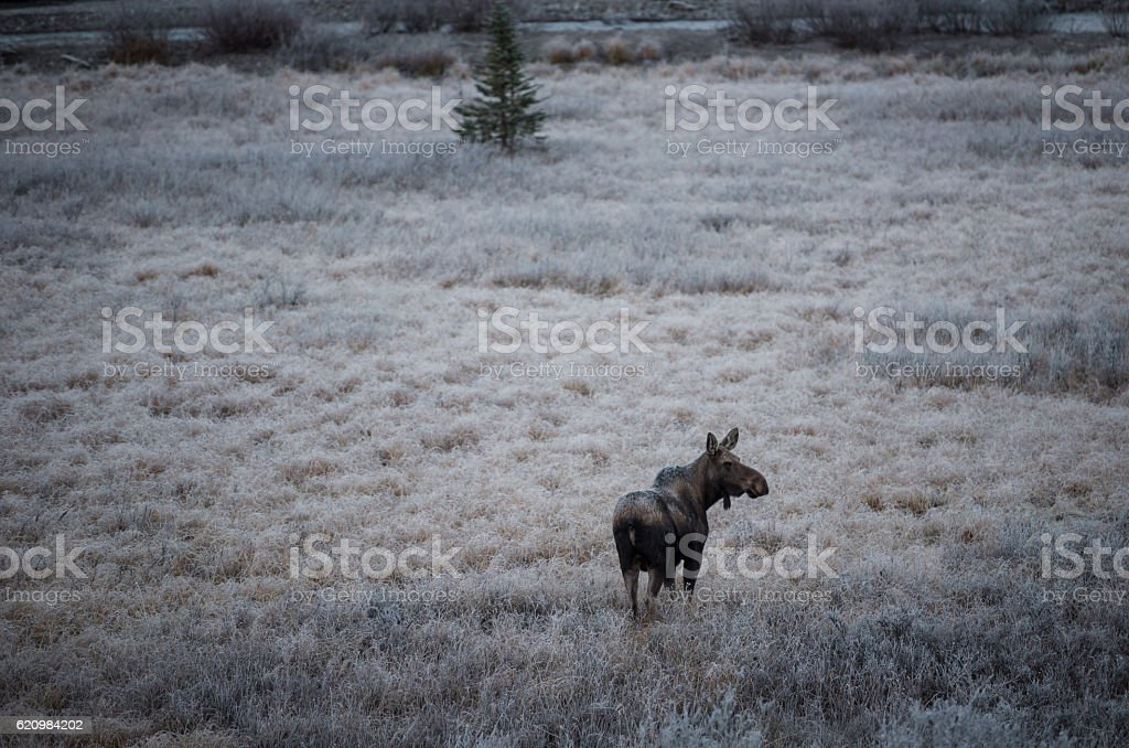 female moose grazes 3 foto royalty-free