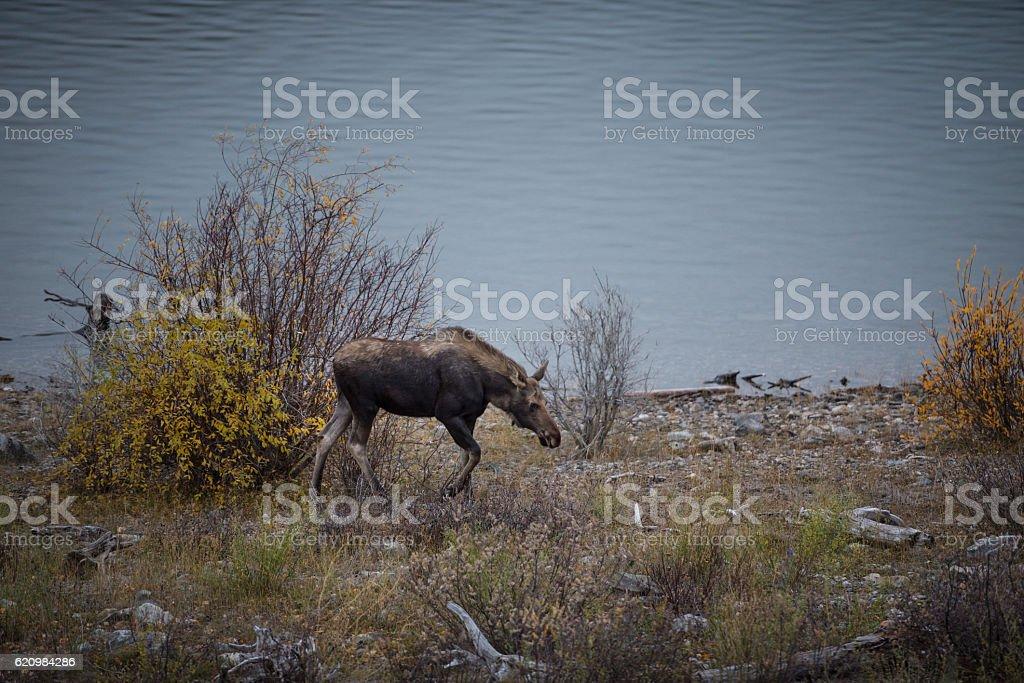 female moose grazes foto royalty-free