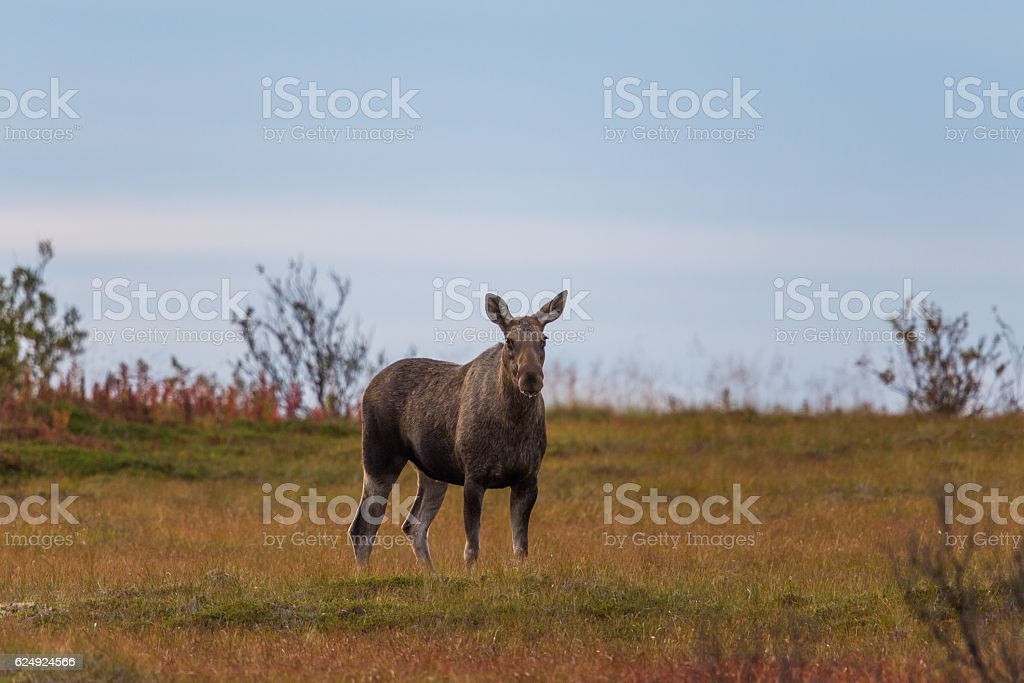 Female moose (alces alces) – Foto
