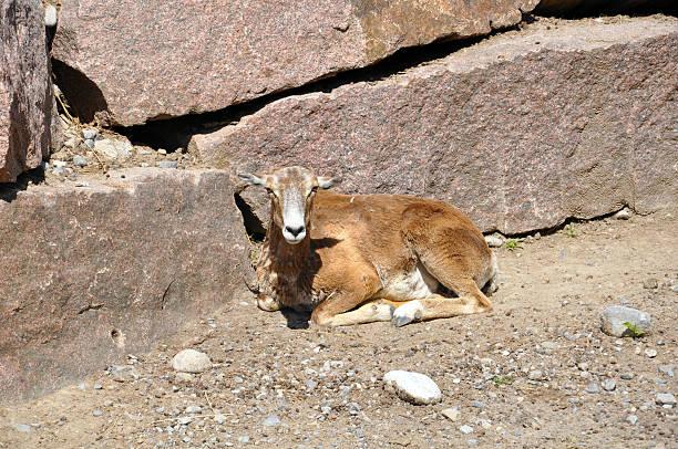Weibliche Mouflon (Ziege – Foto