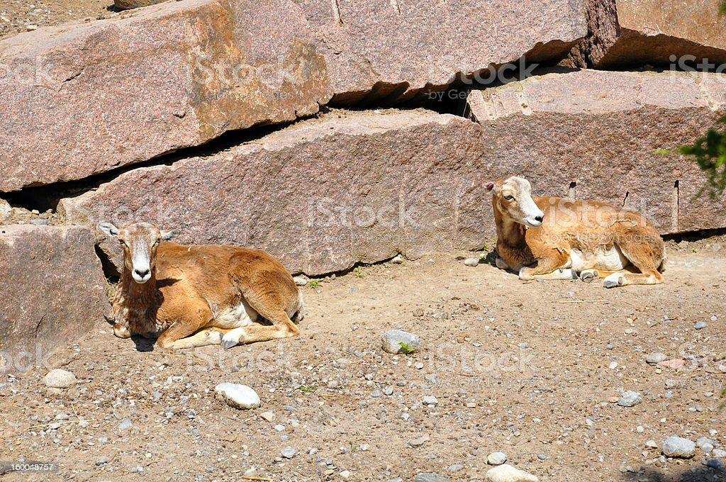 Weibliche Mouflons (Ziegen – Foto