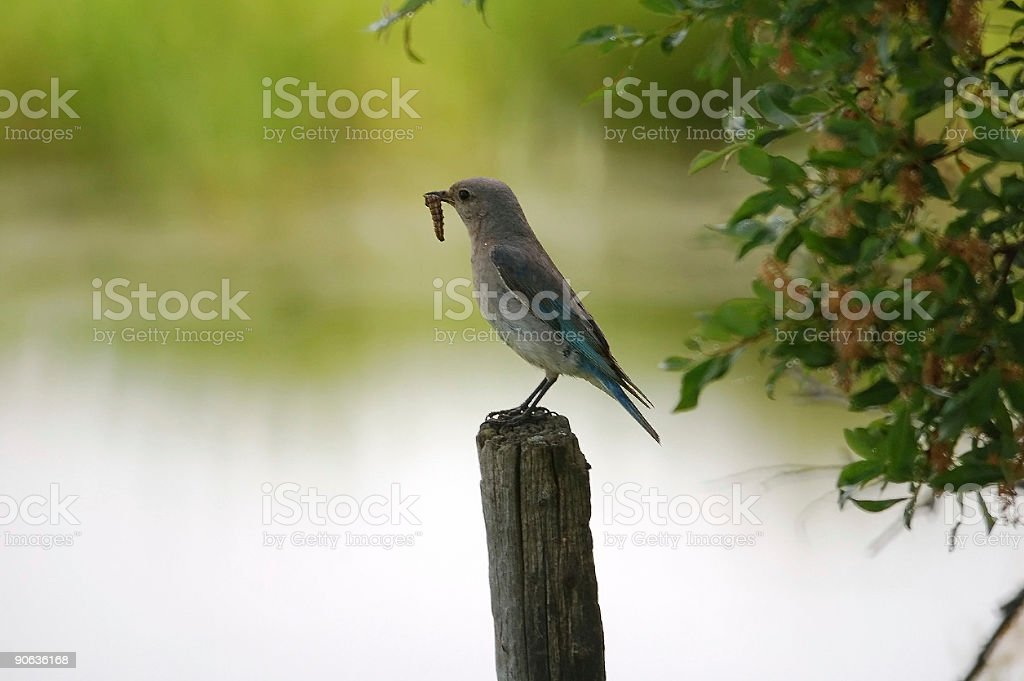Female Mountain Bluebird with Lunch royalty-free stock photo